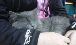 Found grey kitten about 10 weeks old, was found in Current River Hockey arena parking lot. He has yellowish eyes and a white colar.  We will take care of this cute kitten until claimed!