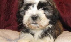 Four cute as button Shi-Poo puppies are ready to take on the world now. These puppies do mainly look ShihtZuu`y but with a docked tail, very cute.  They are mainly black with some brown and white in colors.  These puppies have been checked by our vet for