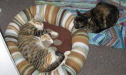 We are pleased to introduce Frances (tabby) and Miriam (tortie). These very adorable young adult cats were two of six extremely affectionate cats who were found after being dumped at a campsite off a remote backwoods hiking trail. We don't know how long