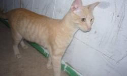 Rose Bud is a beautiful orange and white striped cat. She has and affectionate personality. She great with young children and does not mind dogs. She has been an inside cat but wouldn't mind if she was allowed outside. She is not fixed yet. She went into