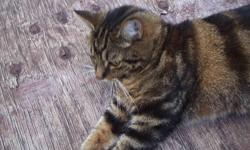 Hi I have a male tabby cat name tiger to give away. I got a fulltime job now and just dont have time to give the love and care he needs and I just dont think its faire for him to be alone all day. he's fix and very playfule, loves people and attention. If