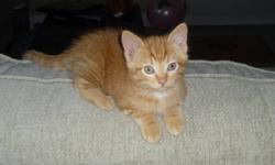Free Kitten to a Good Home   Hes about 2 months old. Caramel coloured with stripes. He loves people, playing and napping. Litter box trained and eating solid food. My husband discovered he's allergic to cats so sadly we can't keep him.   Please email,