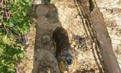 2 deer hunting dogs, free to good home , both dogs are femail   1- beagle boxer mix, 5 years old 2- plotthound, 5 years old
