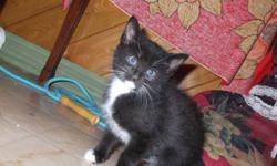 3 kittens male and female 9 weeks old litter trained eating hard food ,raised with dogs and young children . looking for good homes