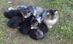 Six playful kittens looking for a loving home.  Four males and 2 females. Three tabby, one solid black and 2 black and white in colour.  All are littered trained.  Please call 626-0425.