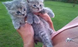 Many kittens for FREE. One batch of kittens are approx. 6 weeks old. Another batch of kitten are approx. 8-10 weeks old. Majority of them are solid grey, solid orange, or a mixture of both. All need a good home. Kittens are currently outdoor barn kittys