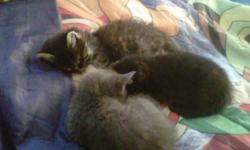 I have three very adorable baby kitties to go to loving homes. They are all de wormed and de flead. One is all black with green eyes, two is grey with blues eyes and three is fluffy with a bit of tiger stripe through it.