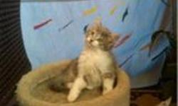 We have 3 kittens looking for homes, 2 are grey and white, 1 is all grey. Please send me a message if you would like to come see them. mailto:anitabannon124@msn.com Thank you Anita