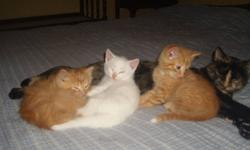 I have 3 kittens available and ready to go to their new homes. I have 2 males (both orange, 1 short hair the other fluffy), and 1 female (almost pure white). All 3 kittens are very friendly and good with children and dogs. If interested in any of the