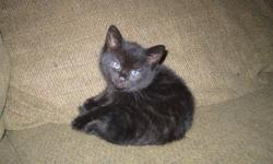 We have three litter trained kittens to rehome. These kittens eat solid food and are litter trained. They have NOT had their shots. Please email your pick or questions about the sexes to toysago_at_shaw_dot_ca or call 250-762-3934 and leave a message