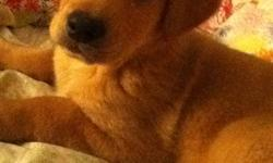 Free to a good home! Hi I have one male puppy available looking for a home.. He is 8 weeks, very playful and cute! He is a Lab mix, looks like a yellow lab If you are interested please email right away ..I am located in Marathon and can deliver this pup