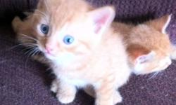 Ready to go now! Very sweet and friendly. Eating soft and solid food and litter trained! Call 215-0516. First come first serve :) This ad was posted with the Kijiji Classifieds app.