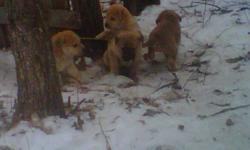 Hello I have 5 puppies to give away for free they will be ready by next week. please call or text me at 204 370 6368 Anyk