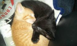 I have seven beautiful, healthy and playful kittens and am adopting 6 of them to a good loving home.  Three orange tabby kittens, two black (one with a few white hairs on the throat) and 1 black and white.   They are ready to go now and have been well