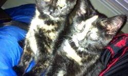 2 kittens available! very playful , love people! need to go , im keeping mom, they can go seperate or together:) good home only! This ad was posted with the Kijiji Classifieds app.