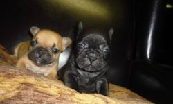 Males available Email or phone for more info. Born September 15 2011 ?1 250 337-8259