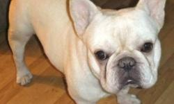 I AM DOWN SIZING MY SMALL HOBBY KENNEL AND LOOKING FOR VERY SPECIAL AND UNIQUE HOMES FOR TWO ADULT FRENCH BULLDOGS.   THE MALE IS BEING OFFERED ON  CO-OWNERSHIP ONLY AS I WILL REQUIRE FUTURE STUD SERVICES.HE IS A WONDERFUL TEDDY BEAR OF A GUY AT 4
