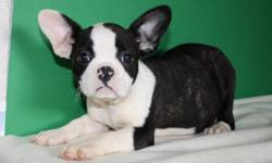 Adorable and fun characters Froston x puppies Males and females, 5 in total Pups should get to be roughly 20 lbs to 25 lbs when fully grown. 1st shots and dewormed, ready for loving homes. Dad is a Boston terrier and mom is a french bulldog. please e-mail