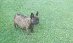 french bulldog,brindle,beautyful female,3 years old,very smart,she was pregnant in the picture,she had 2 litters,excellent mom,looking for a good home,for more info.call 1-780-581-0207