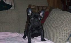 french bulldog puppy,male,black with a little brindle,had his first shot and booster shot,dewormed,comes with a puppy pack,he loves his belly scratched,he is a little sweetheard,he likes his toys,he is ready for his new home,for more info.