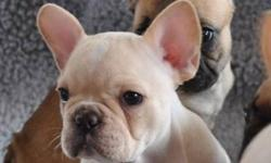 """YOUR NEW BEST FRIEND AWAITS!!""   www.maandpawfrenchbulldogs.com     CKC French Bulldog Puppies Available!!   Cream Female with Rare Blue/Green Eyes $2800   Your new Puppy will be Microchipped, Vet Checked, Healthy, Well Socialized, Spoiled & Up to Date"
