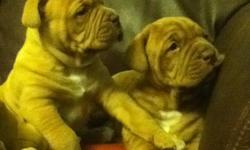 'Gunner' and 'Tank' (2 males available) Mom is purebred American Bulldog Dad is purebred French Mastiff (aka Dogue de Bordeux) Healthy and Strong Fed quality food Come from quiet temperaments Will mature about 130 lbs Will consider delivery