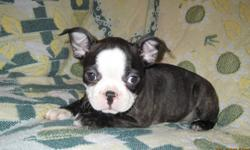 Wonderful Boston Terrier x French Bulldog puppies These little Frenchton's will steal your heart!  Full of love and spunk!  They are happy and social puppies. Veterinary reference available Pups have had first and second vaccinations, a veterinary health