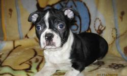 French Bulldog x Pug Big gorgeous boys!  They are 12 weeks old, paper training is going great, and they are totally social and happy puppies. Veterinary Reference Available Go home with year written warranty, puppy food, and scented blanket Pups have had