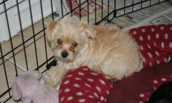 These 4 little Yorkies are wanting to go home for Christmas.  We have 2 boys and 2 girls ready for hugs and kisses.  These non-shedding, hypo-allergenic puppies are loyal, and do not require alot of space.  They come with a puppy starter kit including
