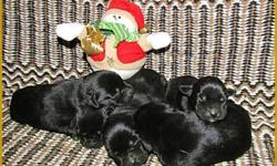 Visit www.cowboyupkennel.com STUNNING LOOKS, CHAMPION BLOODLINES, EXCELLENT HEALTH, LOVELY TEMPERAMENTS! Our well balanced puppies have the whole package!!   All our Labrador Retreiver pups go home with CKC registraton(on a non breeding agreement) 1st