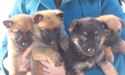 9 adorable 3/4 german shepherd 1/4 dutch shepherd puppies.  Father is pure bred german shepherd and mother is 1/2 dutch shepherd, 1/2 german shepherd. There are 4 females and 5 males. Both parents have excellent temperments.  They are used to cats. All