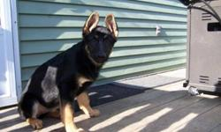 Working line Purebred German Shepherd pups. We have 2 males & 2 females . Excellent service, poilce or sport prospects. Will pay to have them titled. Special consideration given to k9 or security organizations otherwise asking price is 1000 on a non