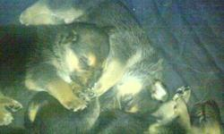 These Puppies were born on November 9th/11. Mom is full breed German Shepard.  They were born in home and are kept in the home.  Mom is both indoor and outdoor family dog.  They are raised with children.  MOm is fed proper feed for her breed and is given