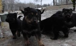 This cute adorable puppies are looking for loving homes.  The will grow to be bigger like a shephard but most of them took on there mothers rotti colouring. Father is a pure bred German Shephard, he is pure black.  Mother is 1/2 shephard and 1/2 rotti,
