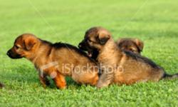 We are a family interested in buying a Red and Black German Shepherd puppy with the required shots. We would prefer a male from either the first or second litter. Within Winnipeg area.   Please call after 7:00 pm.   Thank you