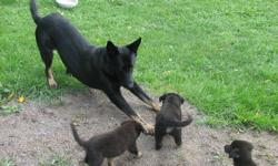 German Shepherd Puppies Father Purebred CKC Registered (Black) with papers Mother Shepherd /Collie Cross 5 male and 3 Female (3 Tan male and 2 Black Male) Call 905 447-1744 to visit anytime These Puppies and their parents all live in our Home.....yesss