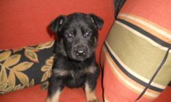 German Shepherd Puppies for sale. Brussels Ontario