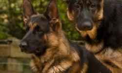 C.K.C. REG GERMAN SHEPHERD PUPPIES,PARENTS CLEAR OF HIP AND ELBOW DYSPLISIAPUPS ARE .MICROCHIPPED,DEWORMED AND FIRST SET OF VACCINATIONS,ONLY 1 GIRL LEFT .EXCELLENT PETS.TOP CHAMPION BLOODLINES A MIX OF GERMAN AND AMERICAN BLOODLINES.   ROSIANKENNELS.CA