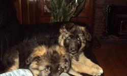 Champion bloodline puppies for sale, excellent temperment call 250-470-1315  will sell with or without papers