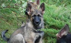 The 1st picture's twin sister and the male pup in the 2nd picture are whats available. The last pic is the mother and the adult shepherd in the other pics is the father. These guys are extremely loyal and intelligent, and some of the best behaved pups I