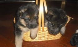 West German Lines, Large, Family Friendly  CKC REGISTERED   Friendly, beautiful, Large, High Energy, Loyal, Easily Trained, German Shepherds   Family oriented, not aggressive, excellent family pets. Pups are handled daily.   Our dogs live with us in our