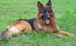 Son of Furbo degli Achel, Pure Breed, Guard dog, 2.5 years old