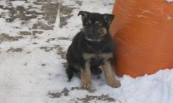 German Shepherd puppies for sale 350.00 3 females and 2 males. the puppiess have been eating on their own for a month. they eat purina puppy chow. they are very healthy and active and outdoor pups. the mother is good with children and is a very good watch