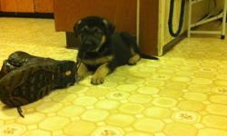 8 week old puppies. Mother is purebred German Shepherd...Father is suspected to be border collie/lab mix.    Pups are being raised inside our home and are well socialized. They have been handled since birth and should make excellent family pets. They are
