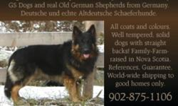 """UNICA KENNELS introduces a brand NEW LITTER of Old World German Shepherds, the """"good old kind"""".  Shepherds like they used to be: nice, big, solid, well tempered dogs with a STRAIGHT back!  We have 7 girls and 3 boys! Dogs I use for breeding have to be"""