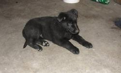 2 cute German Sheppard puppies for sale! 1 male and 1 female, both are healthy and strong build! Male is black in colour. This bloodline has longer hair. Give me a call cell; 250-859-7907 Home: 250-491-4713
