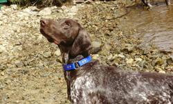 For Sale: We are now accepting deposits on our next litter of CKC registered German Shorthaired Pointer pups. My female will be ready to breed next week. The pups from previous litters are doing very well and are loving and affectionate. These pups do