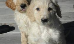 Beautiful, low shedding Golden Doodle Puppies. Mom is a Golden Doodle and dad is a Standard Poodle. Doodles make wonderful family pets - intelligent, very trainable, similar in nature to the Golden Retriever.