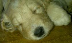 We have the most beautiful Golden Doodle Puppies available. They come with a complete Vet check shots and de-worming. Some are Wavy and some are Curly. Mom and Dad are both Golden Doodles. Golden Doodles make great family pets and therapy dogs. They are