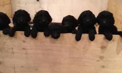 SPUNKY AND HUGGABLE COMPANIONS! THESE PUPPIES ARE GREAT WITH KIDS AND ADULTS ALIKE! NON SHEDDING FUR MEANS LOW MAINTENANCE AND HYPO-ALLERGENIC. READY TO GO HOME NOW WITH VET CHECK UP AND FIRST SHOTS CERTIFICATE. COME AND SEE THESE PRECIOUS PUPS! $800. PH.